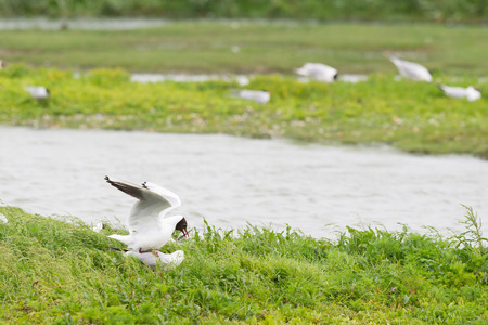 ridibundus: colony breeding black-headed seagulls Stock Photo