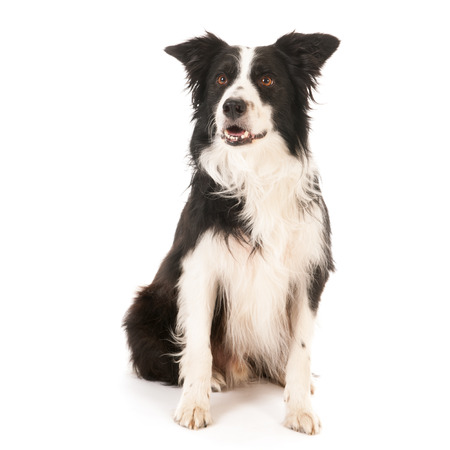border collie: Border collie isolated over white background