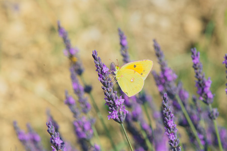 rhamni: common brimstone butterfly on Lavender flowers Stock Photo