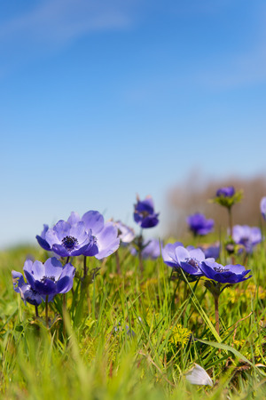 anemones: Blue anemones in the grass