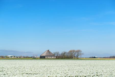 dutch typical: Typical Dutch farmhosue in the flower fields