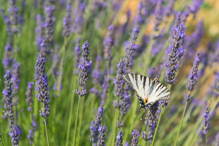 old world: Old World swallowtail on blooming Lavender Stock Photo