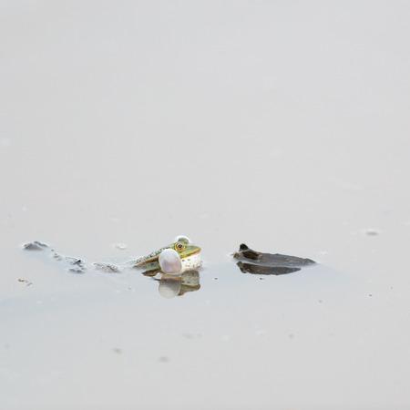 croak: Pool frog croak in nature water Stock Photo