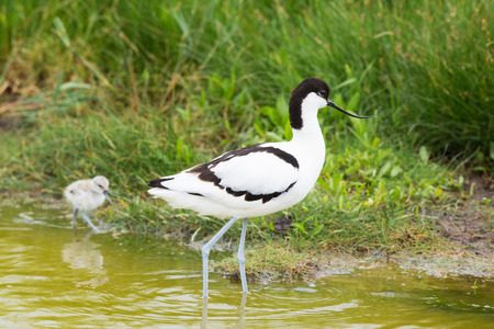 pied: Pied avocet wading in water