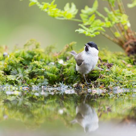 passerine: Marsh tit passerine bird in tree Stock Photo