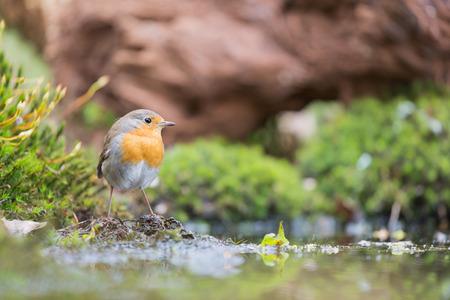 taking bath: Great tit taking bath in lake