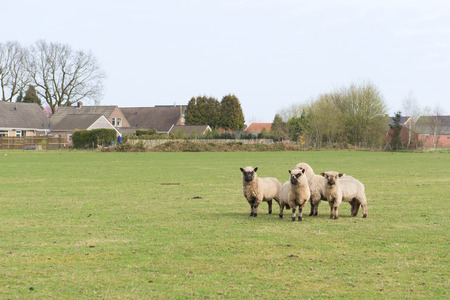 dutch typical: Sheep in Dutch landscape with farm houses