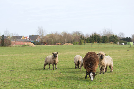 woll: Sheep in Dutch landscape with farm houses