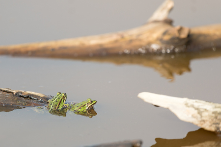 lessonae: Pool frog in nature water