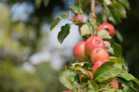 apfelbaum: Ripe red apples hanging in tree Lizenzfreie Bilder