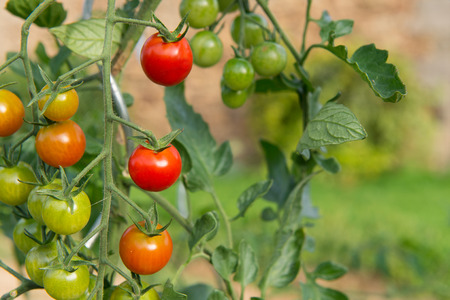 garden green: Ripe and green tomatoes in the vegetable garden Stock Photo