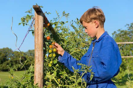 coverall: Farm boys picking the tomatoes in vegetable garden