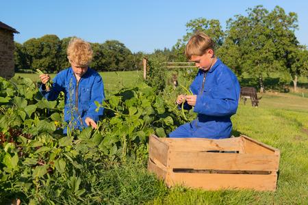 farm boys: Farm boys picking the beans in vegetable garden