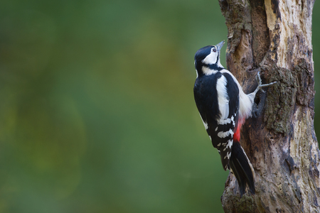 woodpecker: Great spotted woodpecker in tree trunk