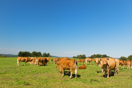 typical: Typical Limousin cows in the French pastures