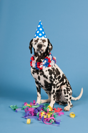 sitting on floor: Portrait pure breed Dalmatian dog with birthday hat and chains in studio on blue background