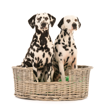 pure breed: Pure breed Dalmatian dogs sitting in studio in wicker basket on blue background Stock Photo