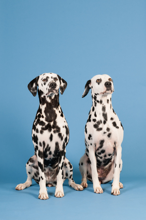 pure breed: Pure breed Dalmatian dogs sitting in studio on blue background