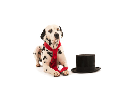 neck tie: Dalmatian dog as groom for the wedding isolated over white background