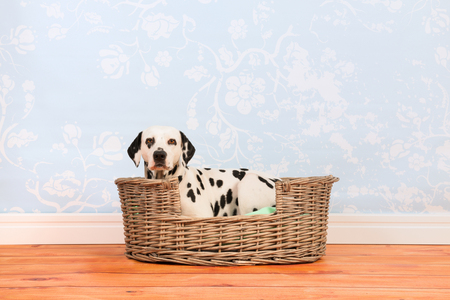 pure breed: Pure breed Dalmatian dog laying in animal bed Stock Photo