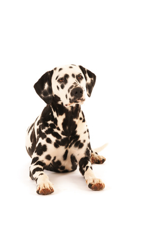 pure breed: Pure breed Dalmatian dog laying on floor isolated over white background