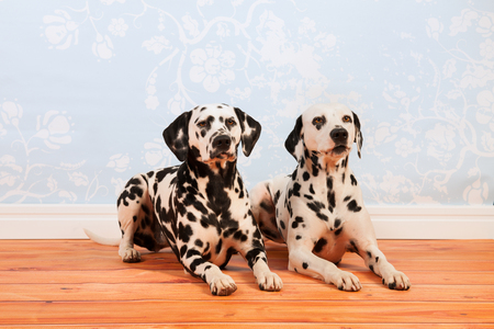 pure breed: Pure breed Dalmatian dogs together laying at the floor Stock Photo