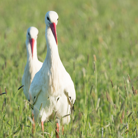 Couple storks standing in grass in the Dutch Eempolder