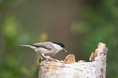 poecile palustris: Marsh tit eating seeds sitting on tree trunk