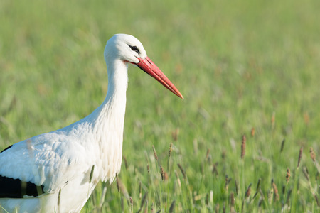 eempolder: Portrait single stork standing in grass in the Dutch Eempolder