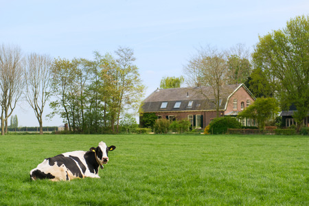 dutch typical: Dutch cow in landscape with farm house Stock Photo