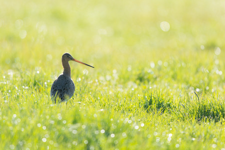 Black-tailed Godwit in backlight  in grass