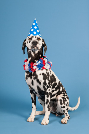 pure breed: Portrait pure breed Dalmatian dog with birthday hat and chains in studio on blue background