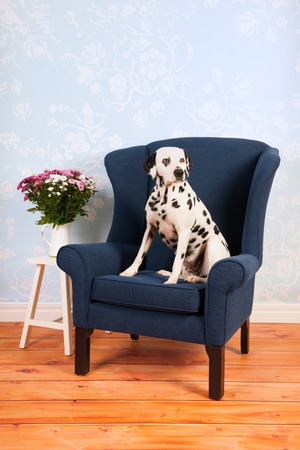 pure breed: Pure breed Dalmatian dog on chair in living room