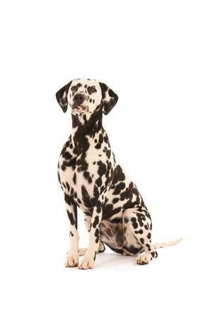 pure breed: Pure breed Dalmatian dog sitting in studio isolated over white background