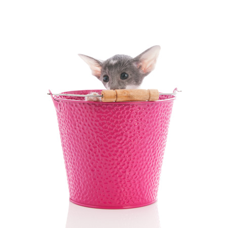 pink pussy: Little Siamese cat in pink bucket isolated over white background