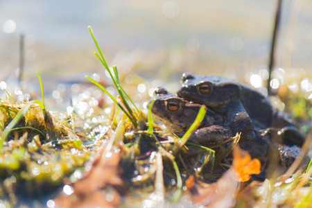 fucking: mating Common toads in nature water