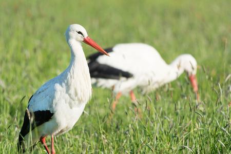 eempolder: Portrait storks standing in grass in the Dutch Eempolder