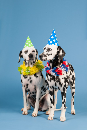 pure breed: Portrait pure breed Dalmatian dogs with birthday hat and chains in studio on blue background Stock Photo