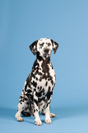 pure breed: Pure breed Dalmatian dog sitting in studio on blue background Stock Photo