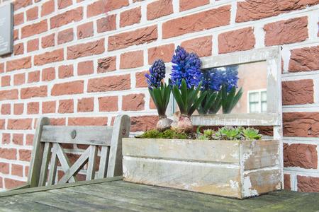 hyacinths: Purple Hyacinths in wooden flower pot outdoor