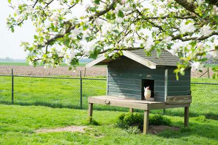 henhouse: Henhouse with white chicken at the farm Stock Photo
