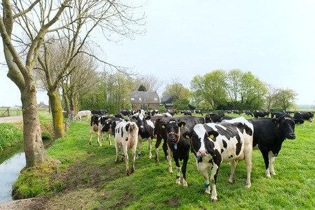 dutch typical: Typical Dutch cows in landscape with farm house Stock Photo