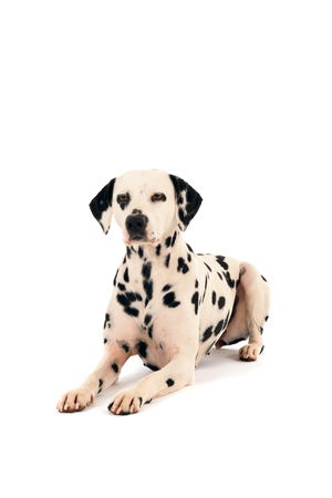 pure breed: Pure breed Dalmatian dog laying in studio isolated over white background