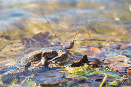 mating Common toads in nature water