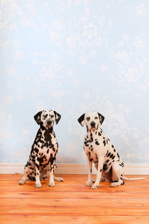 pure breed: Pure breed Dalmatian dogs together sitting at the floor Stock Photo