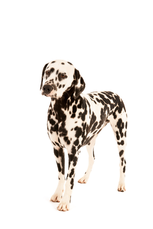 pure breed: Pure breed Dalmatian dog standing in studio isolated over white background