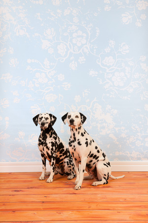pure breed: Pure breed Dalmatian dogs together sitting at floor in living room
