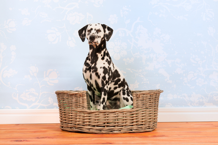 pure breed: Pure breed Dalmatian dog sitting in animal bed