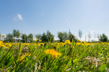 backlite: Yellow blooming dandelions in meadow