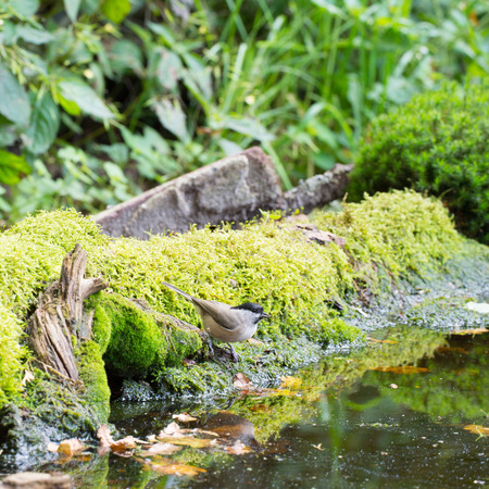 poecile: willow tit in forest drinking water